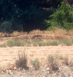 bosque coyote